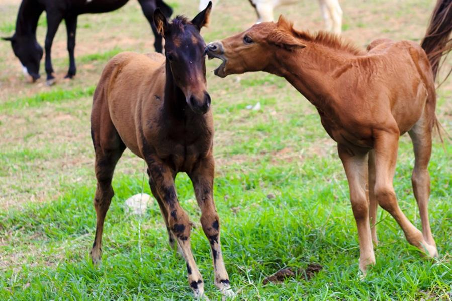 Haras Vô Ziroca Criando Com Paixão  ~ Wallpaper Cavalos Quarto De Milha